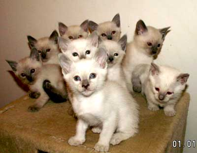 lilac point siamese