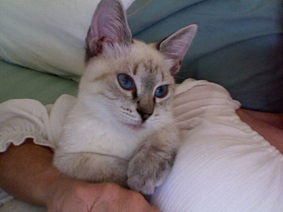 Cars Inspiration: lynx point siamese cats