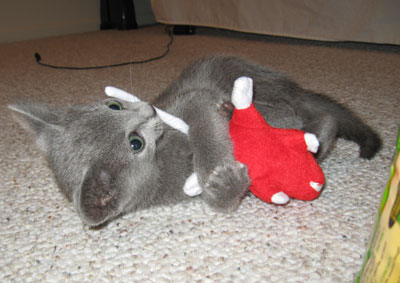 a Russian Blue kitten,