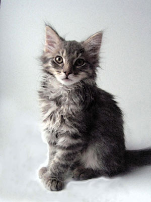 He is a Maine coon mix,