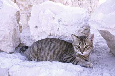 Masada Cat