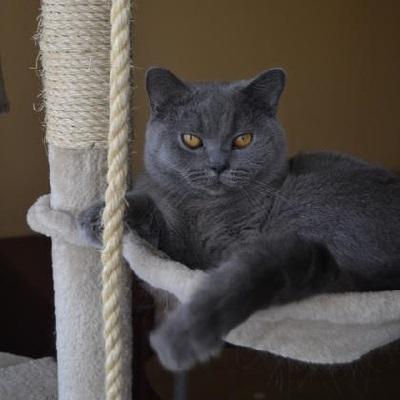 animals-cats-british-shorthair-0-2.800